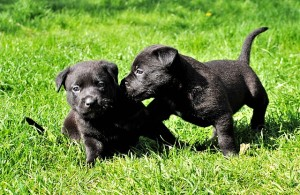 dogs-279696_640
